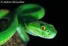 White-lipped Viper (Cryptelytrops albolabris) - captive