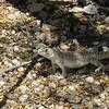 Young desert iguana