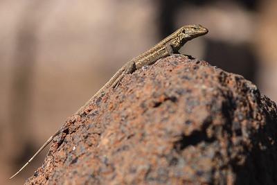 Gallotia galloti eisentrauti - Canarische hagedis - Northern Tenerife Lizard