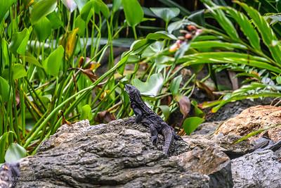 Blac Iguana (spiny tale)