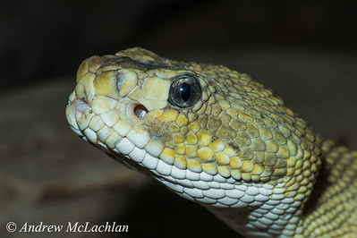 Mexican West Coast Rattlesnkae (Crotalus basiliscus) - captive