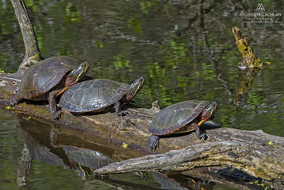 Eastern Painted Turtles (Chrysemys picta) on log in pond at High Park, Toronto, Ontario, Canada