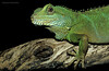 Green Wtaer Dragon (physignathus cocincinus) - captive