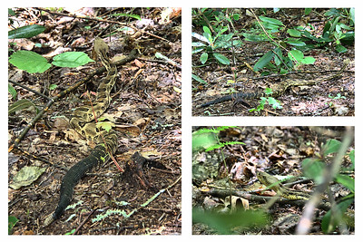 Crotalus horridus - Timber Rattlesnake