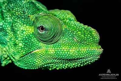 Meller's Chameleon (Chamaeleo melleri) - captive
