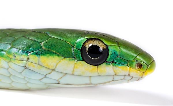 Rough green snake studio portrait