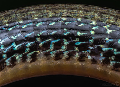 Lateral view of a portion of an eastern legless lizard