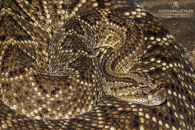 Neotropical Rattlesnake (Crotalus durissus) - captive