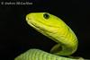 Green Mamba (Dendroaspis angusticeps) - captive