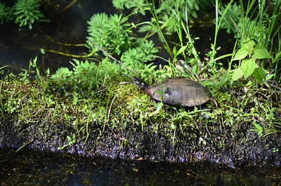 Chrysemys picta - Painted Turtle