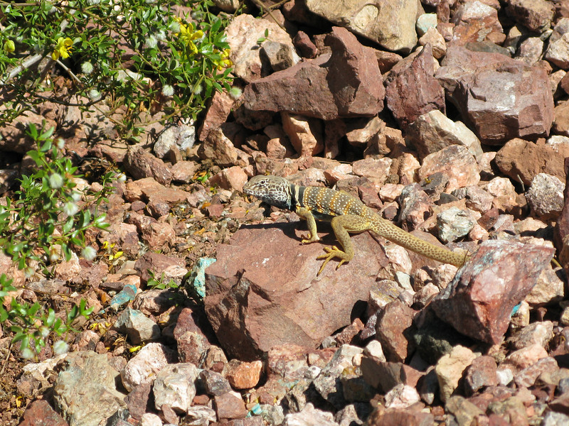 Collared lizard at the Rowley mine