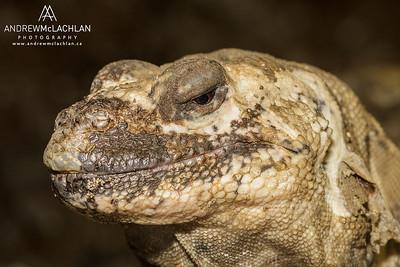 San Esteban Island Chuckwalla (Sauromalus varius) - captive