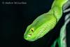 White-lipped Viper (trimeresurus albolabris) - captive