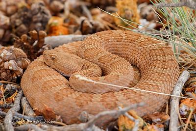 Crotalus oreganus (Western Rattlesnake)