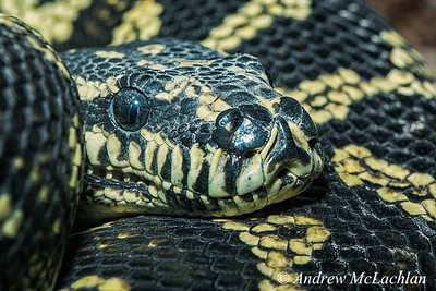 Jungle Carpet Python (Morelia spilota cheynei) - captive