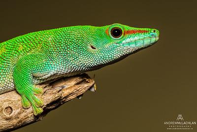 Madagascar Day Gecko (Phelsuma madagascariensis) - captive