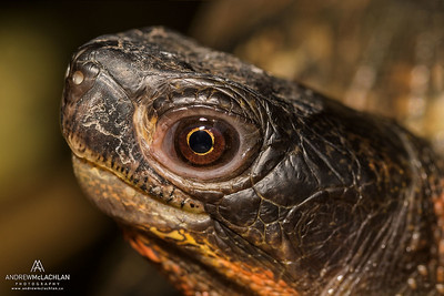 Wood Turtle (Glyptemys insculpta) - captive