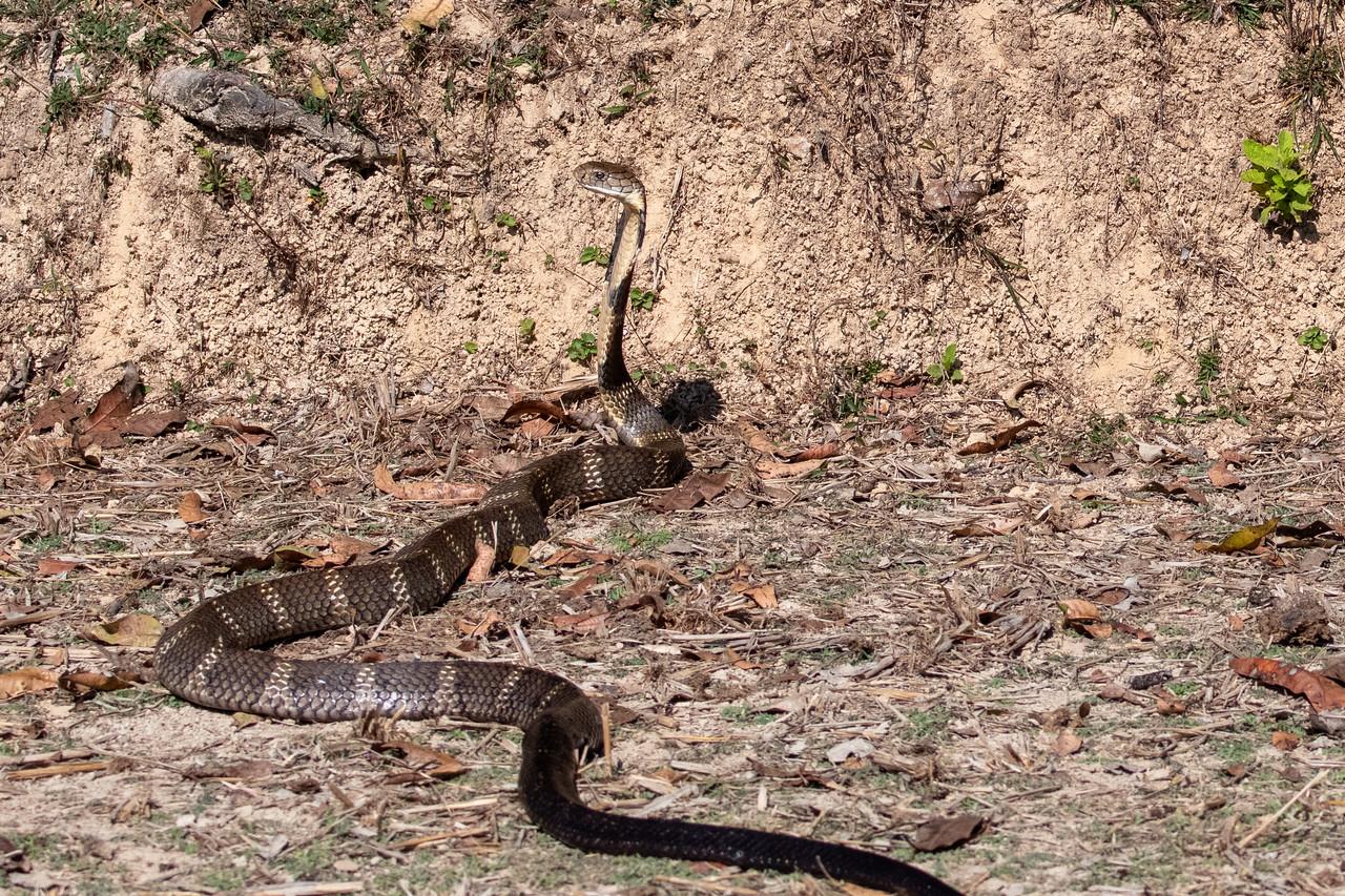 King Cobra (f) - released