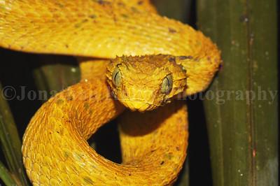 Yellow bush viper (Atheris squamigera)
