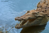 Cuban Crocodile (crocodylus rhombifer) - captive