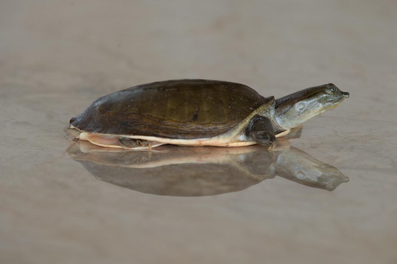 Flap-shelled Turtle