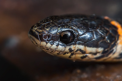 Ring-necked snake closeup