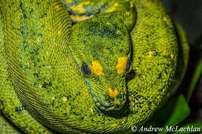 Green Tree Python (Morelia virdis) - captive