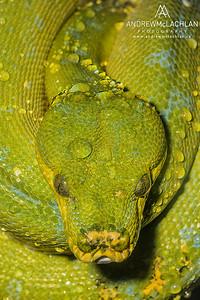 Green Tree Python (Morelia viridis) - captive