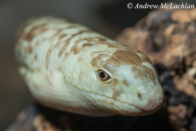 Glass Lizard (Pseudopus apodus) - captive
