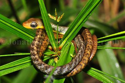 Brown sipo (Chironius fuscus)
