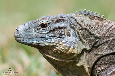 Blue Iguana (Cyclura lewisi), Grand Cayman, British West Indies