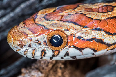 Red rat snake / Red corn snake