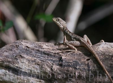 Brown Basilisk (female)