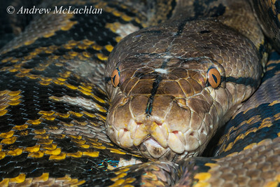 Reticulated Python (Python reticulatus) - captive