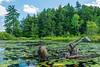 Common Snapping Turtle (Chelydra serpentina) on Horseshoe Lake in Muskoka, Ontario, Canada