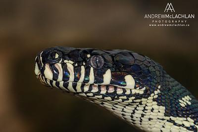 Boelen's Python (Simalia morelia boeleni) - captive