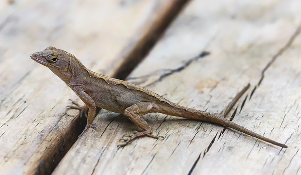 Brown anole with double tail