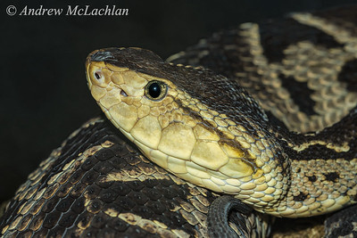 Fer-de-lance (Bothrops asper) - captive