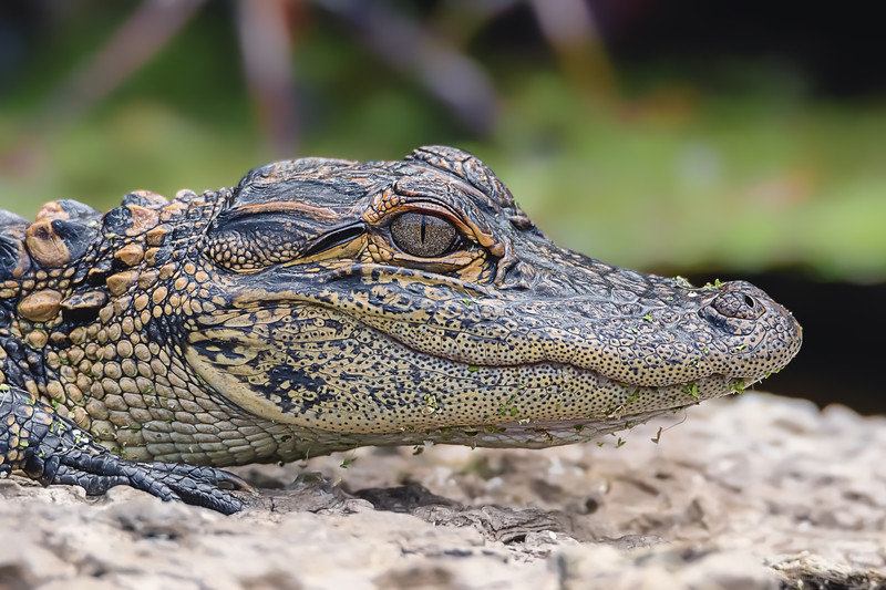 Basking baby alligator