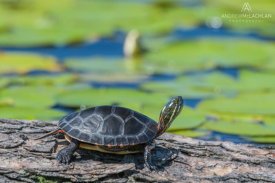 Eastern Painted Turtle (Chrysemys picta), Horseshoe Lake, Parry Sound, Ontario