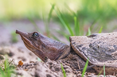 Florida softshell turtle digging a nest to lay her eggs