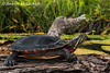Eastern Painted Turtle (chrysemys picta)