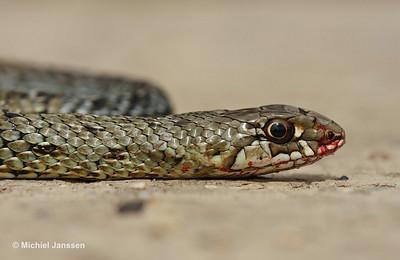 Malpolon monspessulanus - Hagedisslang - Montpellier Snake - Culebra bastarda