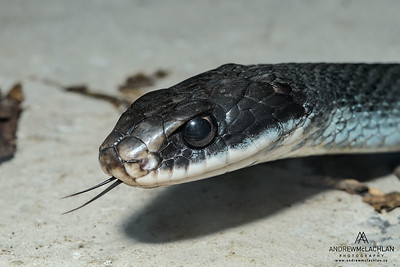 Blue Racer (Coluber constrictor foxii) - captive