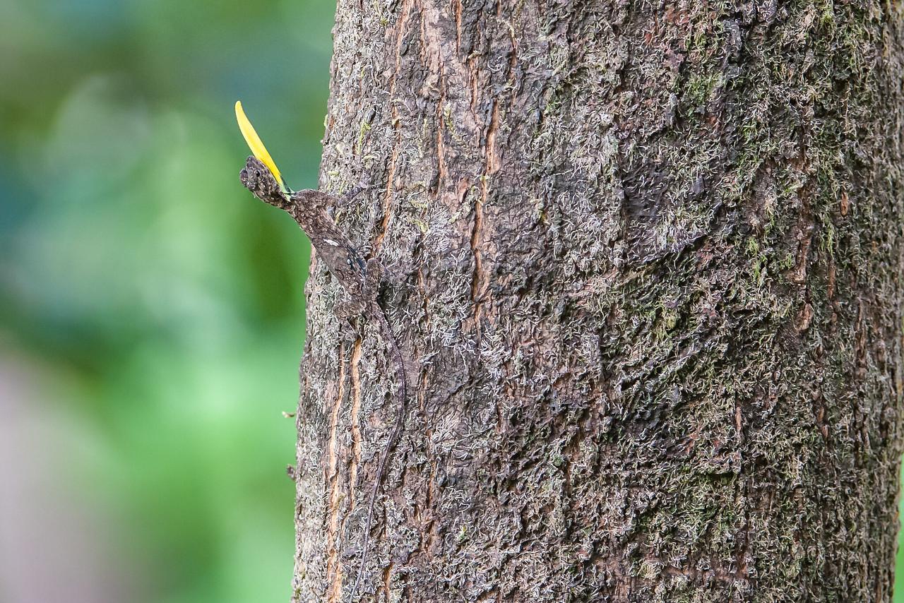 Southern Flying Lizard (Draco dussumieri)