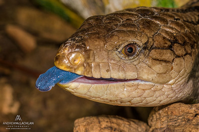 Blue-tongue Skink (Tiliqua scincoides) - captive