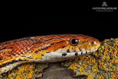 Corn Snake (Pantherophis guttatus) - captive bred