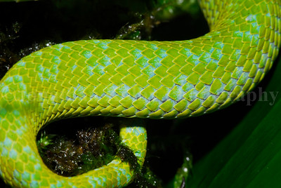 Beautiful scales of the Emerald Palm Viper (Bothriechis marchi)