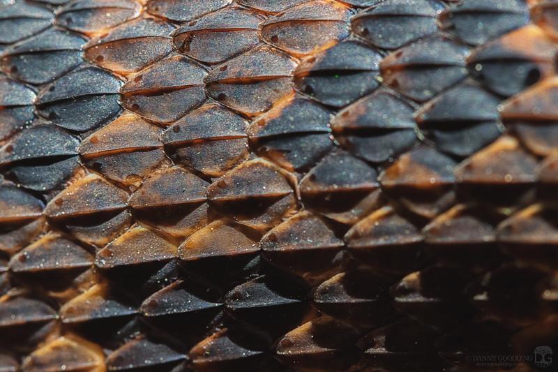 Brown water snake scales