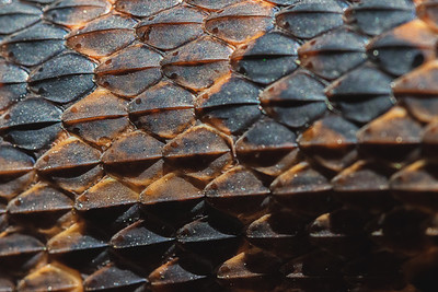 Brown water snake scales
